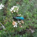 image blue-flower-wasp-gmv-jpg
