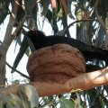 image white-winged-chough-on-the-nest-jpg