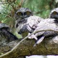 image tawny-frogmouth-chicks-jpg