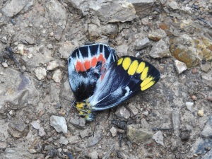 1-17-06-black-jezebel-butterfly-nerrigundah-road