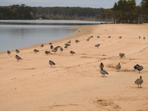 1-17-06-ducks-north-durras-1