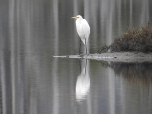 1-17-06-great-egret-discovery-trail-durras-1