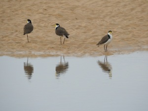 1-17-06-spur-winged-plovers-north-durras