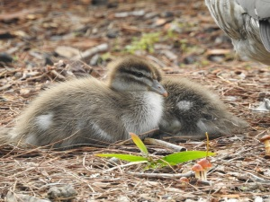 1-17-06-wood-ducks-and-ducklings-eurobodalla-regional-gardens-3