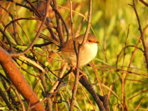 17-03-1blue-wren-f-at-sunrise-north-broulee-5