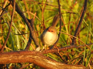 17-03-1blue-wren-f-calling-at-sunrise-north-broulee