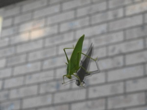 17-05-grasshopper-on-window-broulee-2