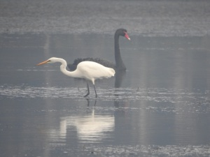 17-05-great-egret-and-swan-in-fog-at-candlagan-creek-3