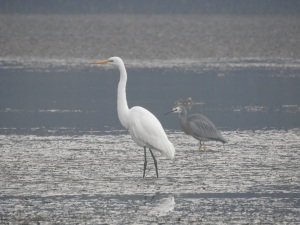 17-05-great-egret-and-white-faced-heron-in-fog-at-candlagan-creek