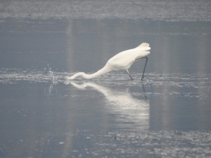 17-05-great-egret-fishing-in-fog-at-candlagan-creek-2