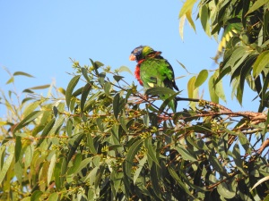17-05-rainbow-lorikeet-after-a-rumble-at-broulee