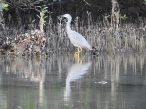 17-05-white-faced-heron-candlagan-creek