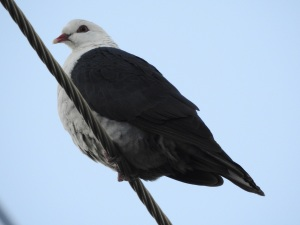 17-05-white-headed-pigeon-broulee