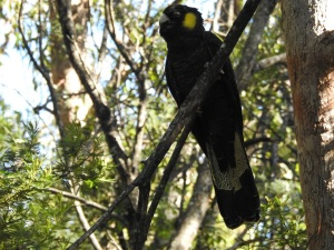 17-05-yellow-tailed-black-cockatoo-eurobodalla-regional-botanic-gardens-3