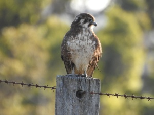 17-06-brown-falcon-near-coila-4
