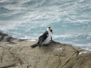 17-06-little-pied-cormorant-at-bogola-head-1