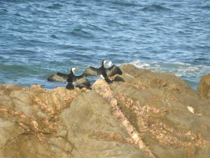 17-06-little-pied-cormorants-at-bogola-head-3