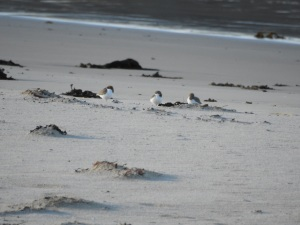 17-06-red-capped-plovers-at-bogola-head-5