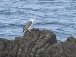 17-06-sea-eagle-bogola-head-3