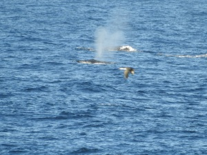 17-06-whale-2-from-bogola-head-18