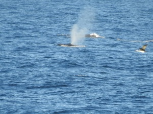17-06-whale-2-from-bogola-head-7
