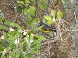 17-06-yellow-robin-at-bogola-head-1