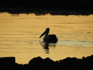 17-07-26-pelican-at-sunrise-mossy-point-2