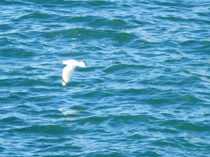 17-07-albatross-flying-at-wasp-head-1