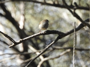 17-07-brown-thornbill-at-wasp-head-2