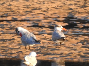 17-07-caspian-terns-at-sunrise-at-mossy-point-5