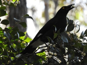 17-07-currawong-eating-pittosporum-at-wasp-head-2