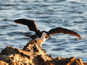 17-07-little-pied-cormorant-spreading-wings-at-sunrise-mossy-point-2
