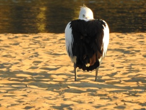 17-07-pelican-at-sunrise-at-mossy-point-1