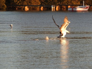 17-07-pelican-chasing-seagulls-from-fish-at-sunrise-at-mossy-point-1
