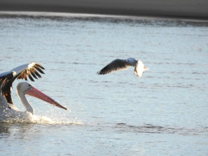 17-07-pelican-chasing-seagulls-from-fish-at-sunrise-at-mossy-point-11