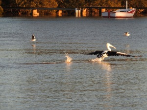 17-07-pelican-chasing-seagulls-from-fish-at-sunrise-at-mossy-point-2