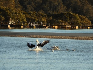 17-07-pelican-chasing-seagulls-from-fish-at-sunrise-at-mossy-point-3