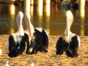 17-07-pelicans-at-sunrise-at-mossy-point-8