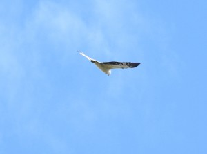 17-07-sea-eagle-at-wasp-head