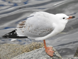 17-07-seagull-sqawking-at-tomakin-3