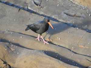 17-07-sooty-oystercatcher-at-pedros-point-2