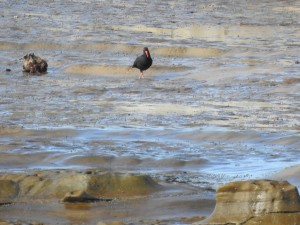 17-07-sooty-oystercatcher-at-wasp-head-3