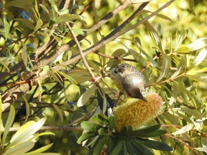 17-07-wattlebird-at-wasp-head-2