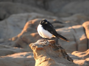 17-07-willie-wagtail-sunrise-mossy-point-3