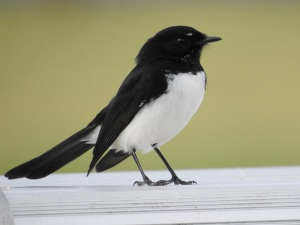 17-07-willie-wagtail-at-tomakin