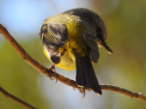17-07-yellow-robin-6-with-catch-eurobodalla-regional-botanic-gardens-1
