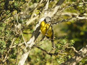 17-07-yellow-robin-at-pedros-point-1