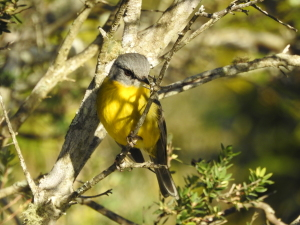 17-07-yellow-robin-at-pedros-point-2