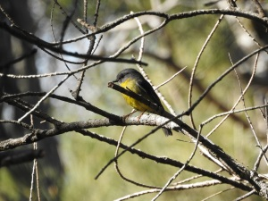17-07-yellow-robin-at-wasp-head-1