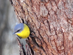 17-07-yellow-robin-at-wasp-head-3